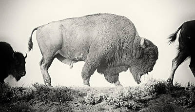Portrait Of A Yellowstone Bison Poster by Shane Linke