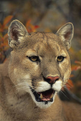 Portrait Of Adult Male Cougar Poster by Rebecca Grambo