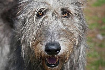 Portrait Of An Irish Wolfhound Poster by Zandria Muench Beraldo