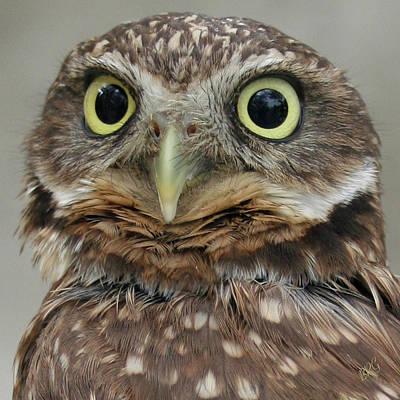 Portrait Of Burrowing Owl Poster by Ben and Raisa Gertsberg