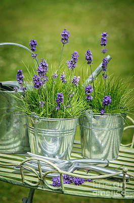 Pots Of Lavender Poster by Amanda And Christopher Elwell