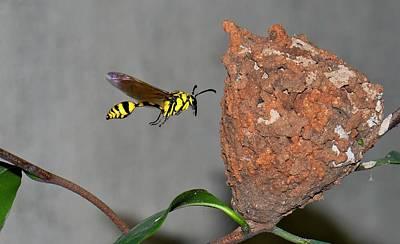 Potter Wasp With Nest Poster by K Jayaram