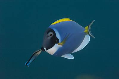 Powderblue Surgeonfish With Wrasse Poster by Science Photo Library