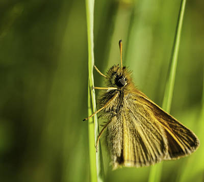 Poweshiek Skipperling Poster by Thomas Young