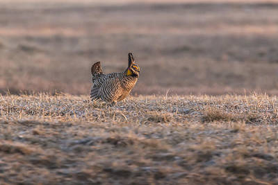 Prairie Chicken 2013-10 Poster by Thomas Young