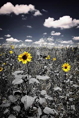 Prairie Sunflowers  Poster by Elena Elisseeva