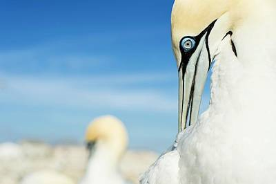 Preening Adult Cape Gannet Poster by Peter Chadwick