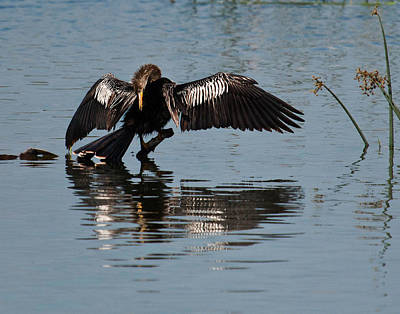 Preening Anhinga Poster by Dawn Currie