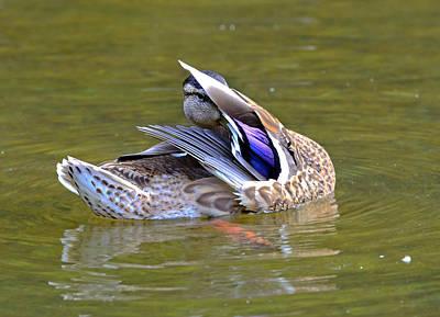 Preening Duck Poster by Susan Leggett