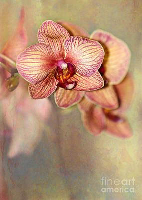 Pretty Peach Phalaenopsis Orchids Poster by Sabrina L Ryan