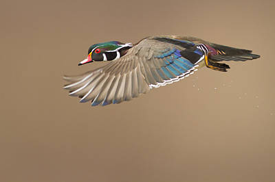 Probably The Most Beautiful Of All Duck Species Poster by Mircea Costina Photography