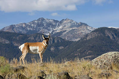 Pronghorn Antelope Buck, Electric Peak Poster by Ken Archer