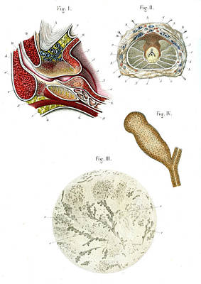Prostate Anatomy Poster by Collection Abecasis