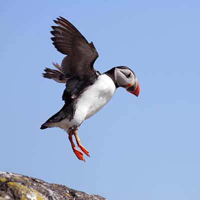 Puffin In Flight Poster by Grant Glendinning