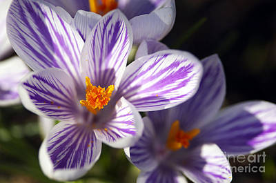 Purple And White Crocus Poster by Sharon Talson