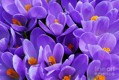 Purple Crocus Poster by Elena Elisseeva
