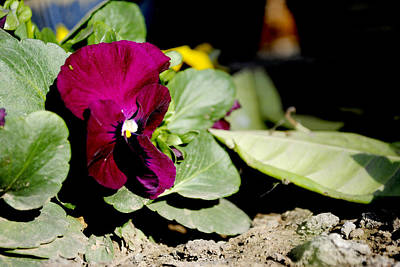 Purple Pansy Poster by Sumit Mehndiratta