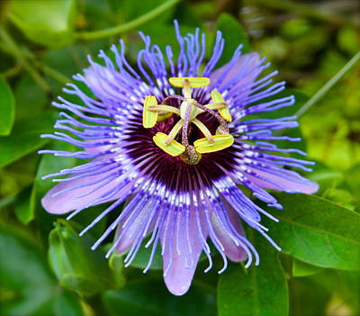 Purple Passion Flower Poster by Venetia Featherstone-Witty