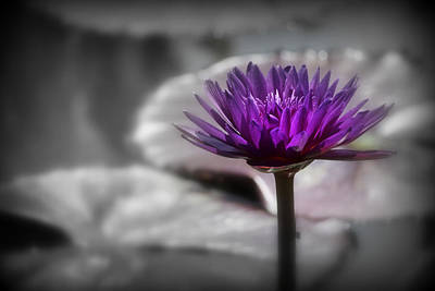 Purple Pond Lily Poster by Lynn Sprowl
