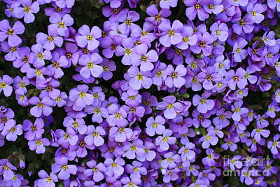 Purple Rockcress Poster by Carol Groenen