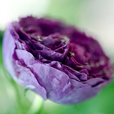 Purple Rose Poster by Frank Tschakert