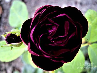 Purple Rose Poster by Nina Ficur Feenan