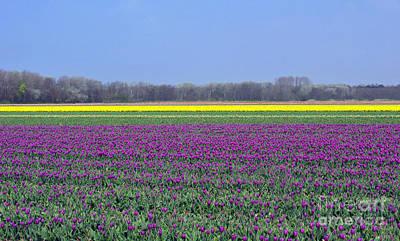 Purple With Golden Lining. Fields Of Tulips Series Poster by Ausra Huntington nee Paulauskaite