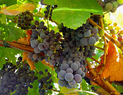 Pyrenees Winery Grapes Poster by Michele  Avanti