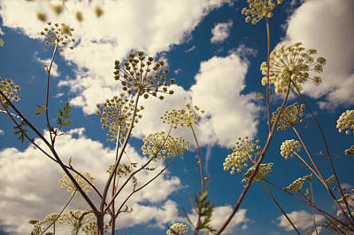 Queen Anne Lace And Sky I Poster by Jenny Rainbow