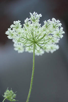Queen Anne's Lace Bloom Poster by Anna Miller