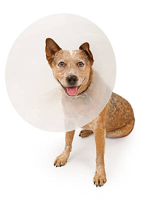 Queensland Heeler Dog Wearing A Cone Poster by Susan  Schmitz