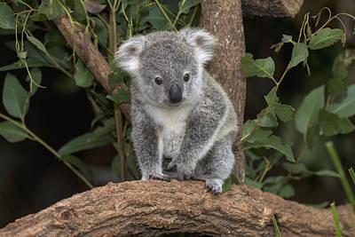 Queensland Koala Juvenile Australia Poster by San Diego Zoo