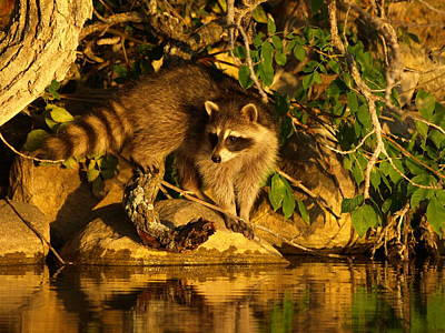 Raccoon At Dusk Poster by James Peterson