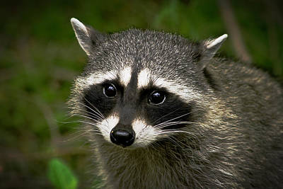 Raccoon Poster by Robert Bales