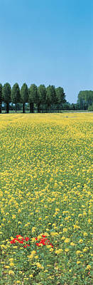 Rape Flowers France Poster by Panoramic Images