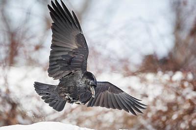 Raven In Flight Poster by Bill Wakeley