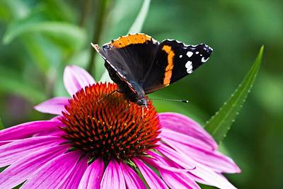 Red Admiral Butterfly Poster by Ms Judi
