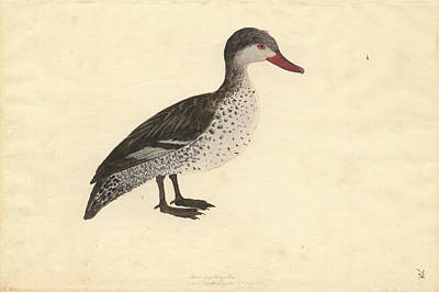 Red-billed Duck Poster by Natural History Museum, London