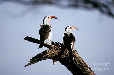 Red-billed Hornbills Poster by Art Wolfe