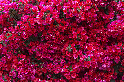 Red Bougainvillea Poster by Garry Gay