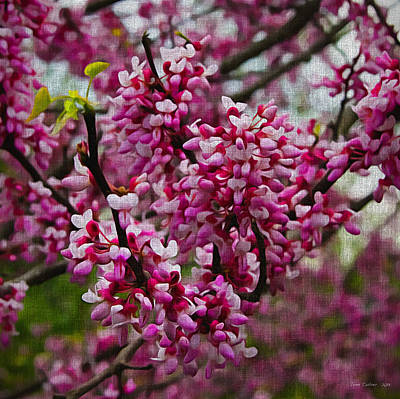 Red Bud On Canvas Poster by Tom Culver