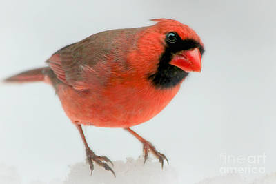 Red Cardinal In Snow Poster by Heidi Piccerelli