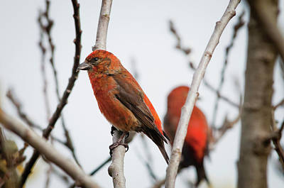 Red Crossbills Perch In A Willow Poster by Robert L. Potts