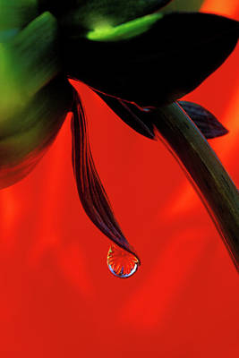 Red Dahlia In A Dew Drop Poster by Jaynes Gallery