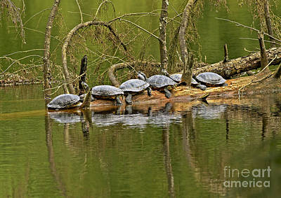 Red Eared Slider Turtles 2 Poster by Sharon Talson
