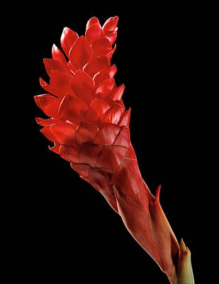 Red Ginger (alpinia Purpurata) Poster by Gilles Mermet