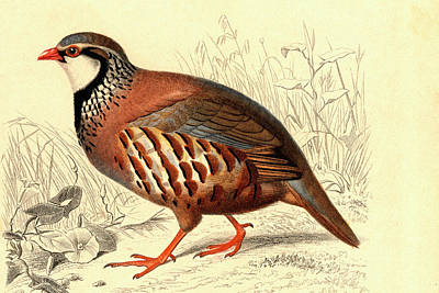 Red-legged Partridge Poster by Collection Abecasis