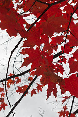 Red Maple Leaves Poster by Ana V  Ramirez
