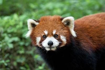 Red Panda Portrait Poster by Tony Camacho