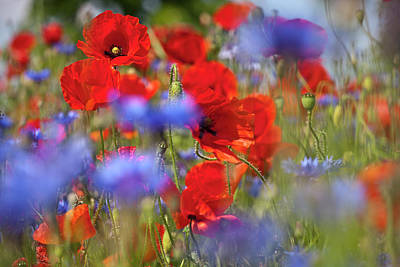 Red Poppies In The Maedow Poster by Heiko Koehrer-Wagner